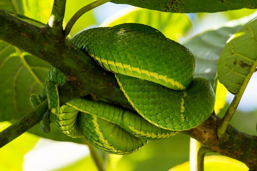 Costa Rica Adventure / Pit Viper
