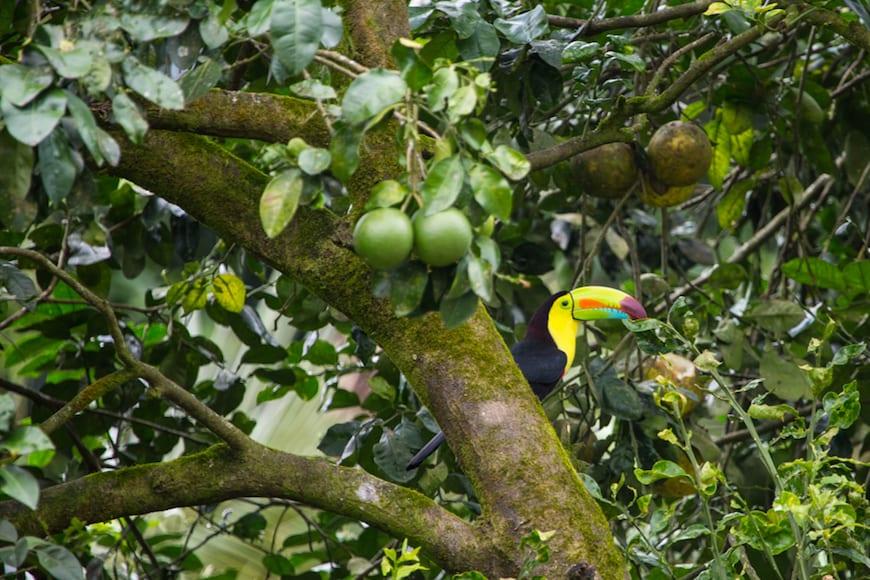 Costa Rica Adventure / Toucan