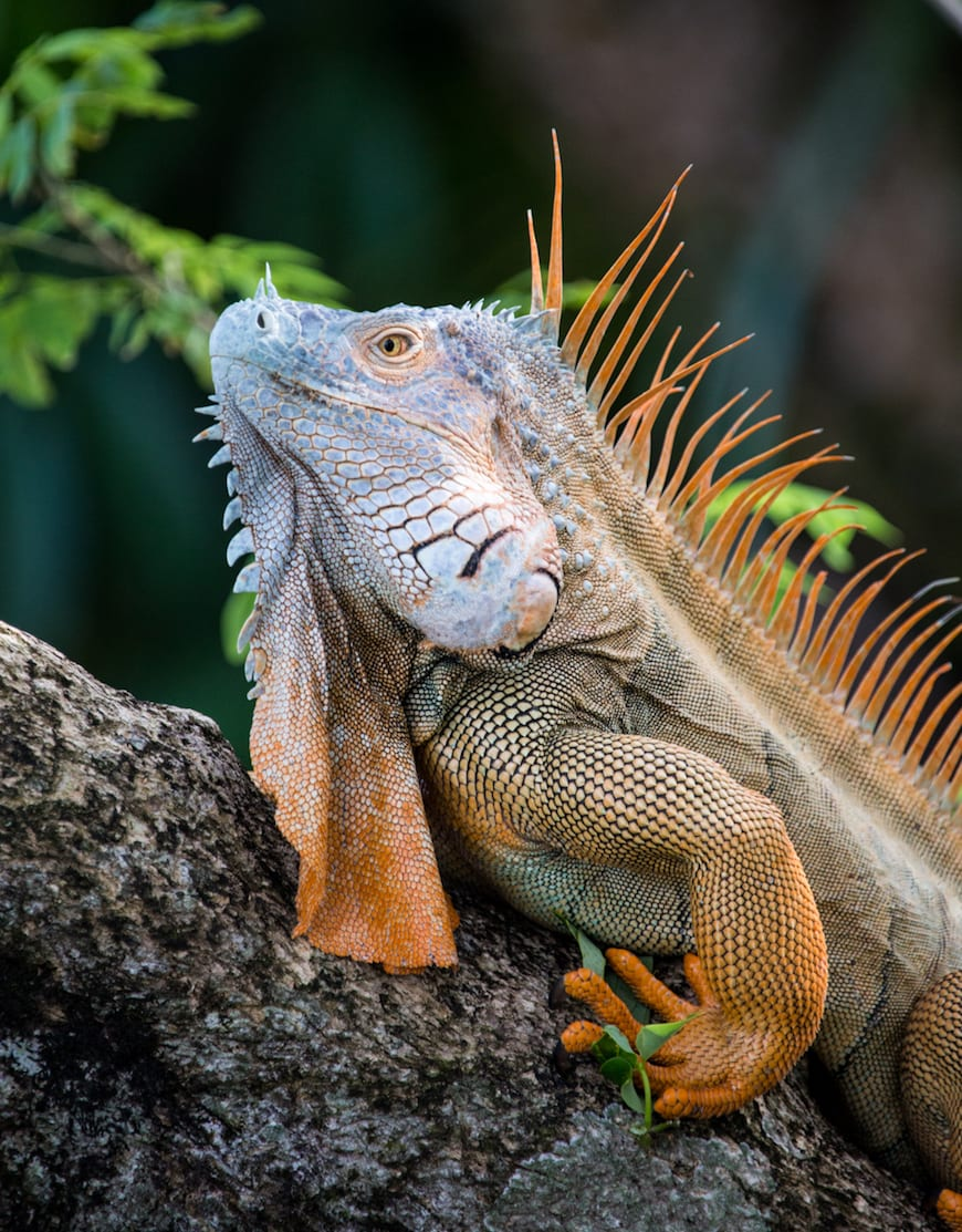 Costa Rica Adventure / Iguanas
