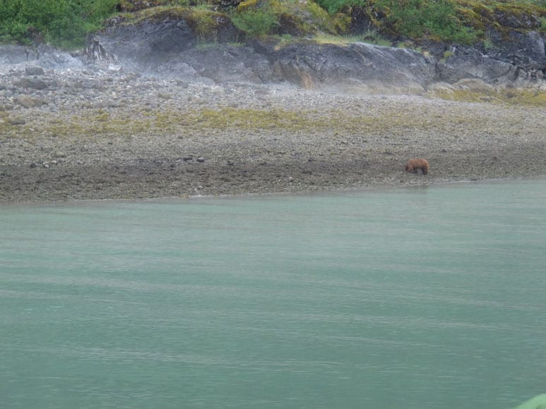 Brown Bears in the Inside Passage of Alaska