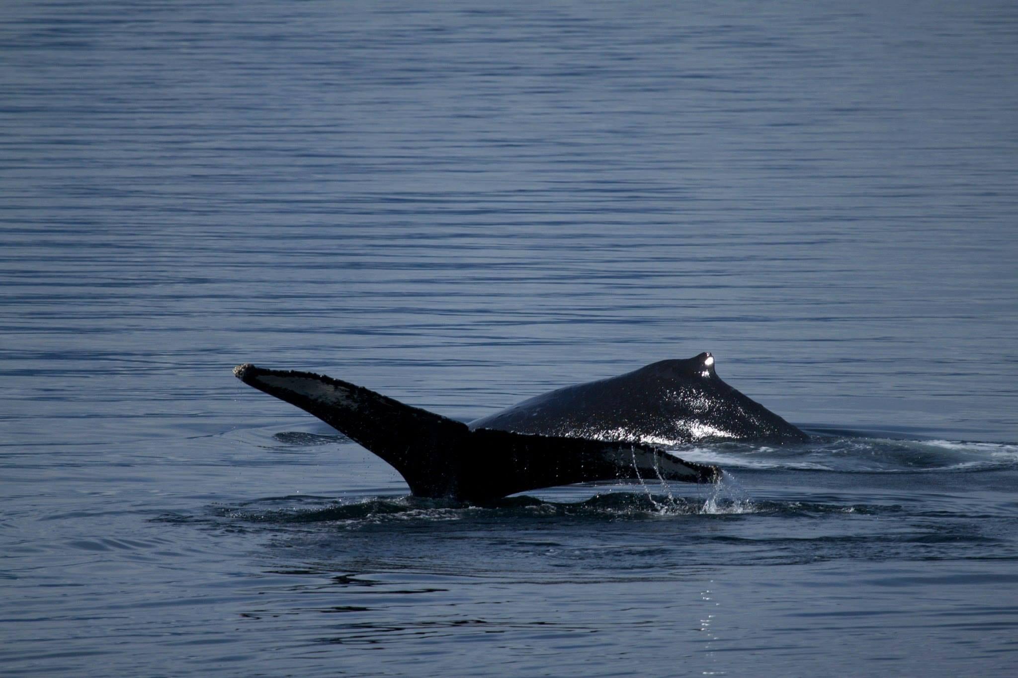 Whales - Bubble Feeding in Alaska