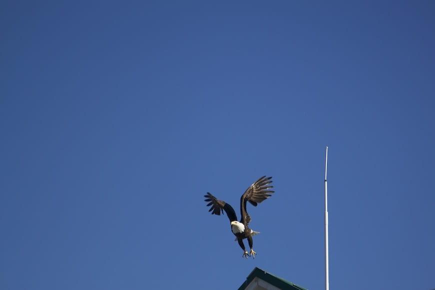 National Geographic Lindblad Alaskan Expedition Bald Eagle