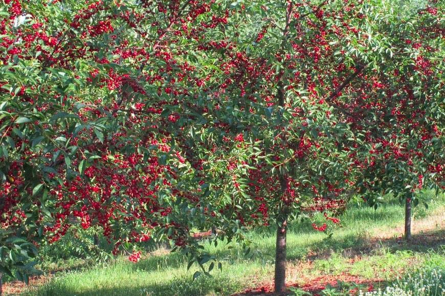 Tart Cherry Orchards | Traverse City, Michigan