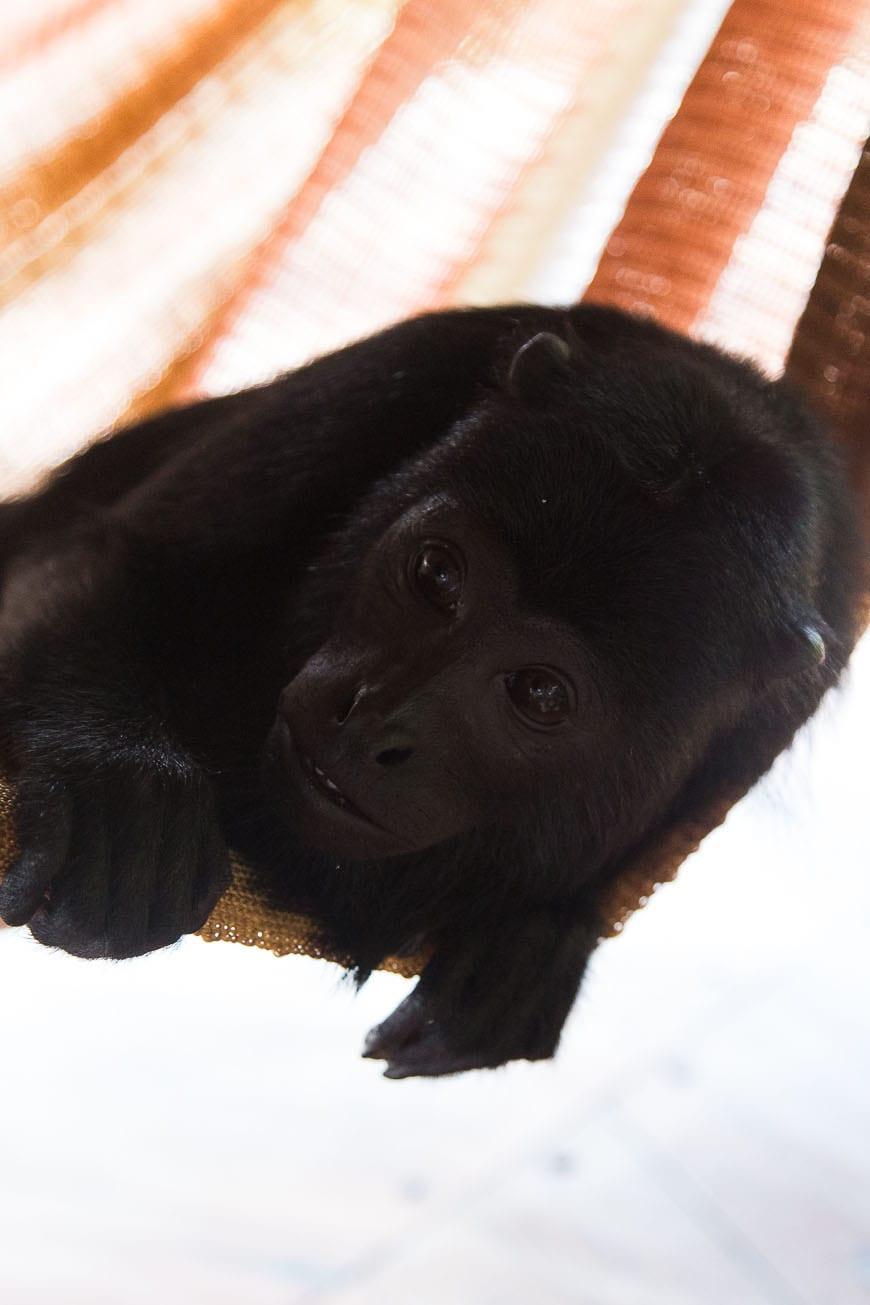 hammock monkey
