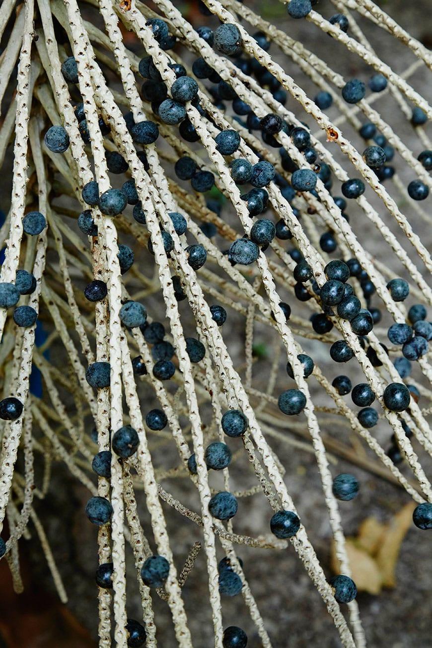 Acai Plants Belém, Brazil photo by Matt Armendariz